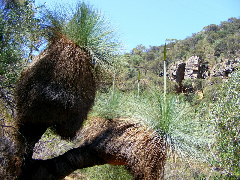 Xanthorrhoea_quadrangulata_with_flower_spike800