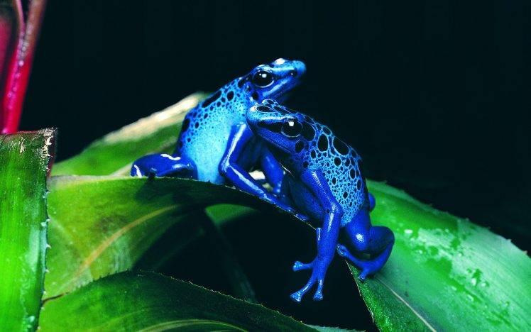 178670-frog-animals-nature-amphibian-poison_dart_frogs-748x468